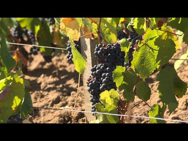 Sur la route des vins : le vigneron qui ne fait rien comme les autres !