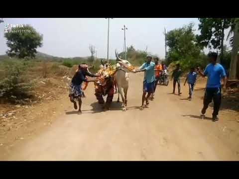 Roshan king hori habba Bull recing super jumping