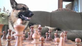 German Shepherd Playing Chess New Training Dvd.mp4