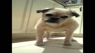 Cute Pug Puppy Loses His Treat