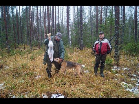 Охота на зайца беляка .РГ Ругай и Сигнал.