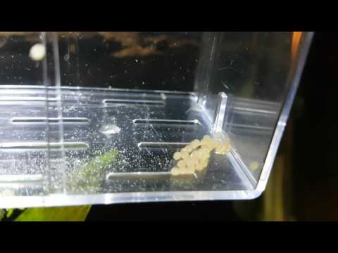 Corydoras Albino Eggs Hatching After 4 Days.