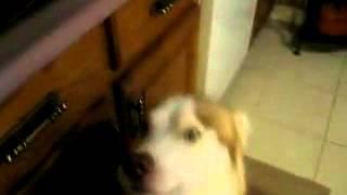 My Siberian Husky And I Arguing