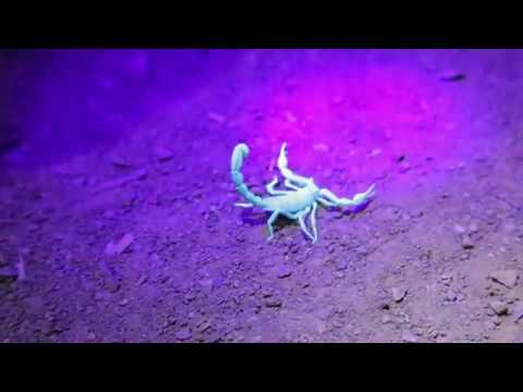 Local Scorpions | California Academy of Sciences