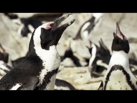 Penguins' Amazing Survival Skills | BBC Earth