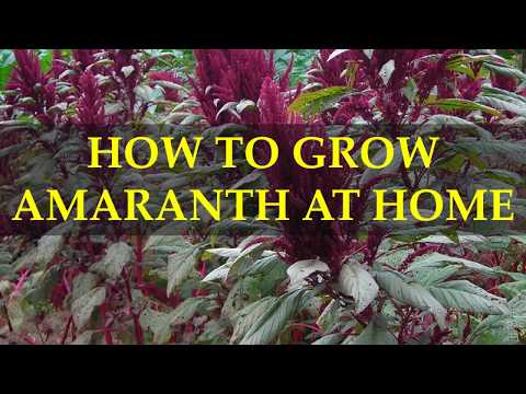 HOW TO GROW AMARANTH AT HOME