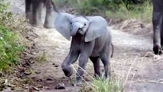 Adorable Elephant Charges Tourists...Then Chickens Out