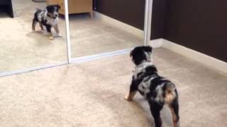 My Texas heeler puppy not sure about this mirror stuff.