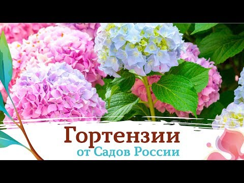 Гортензии от Садов России