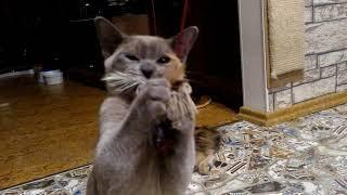 Играем котята европейской бурмы и курильского бобтейла,  питомник Delicate Flower