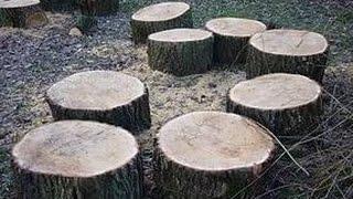 Какие породы дерева выбирать для выращивания вешенки на пеньках