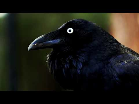 Australian Raven Calling (Corvus Coronoides)