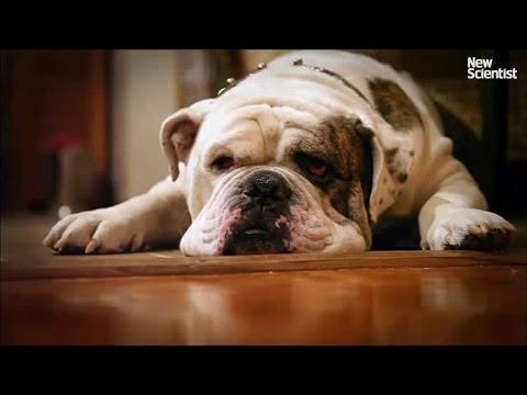 Inbreeding has destroyed the English bulldog's genetic