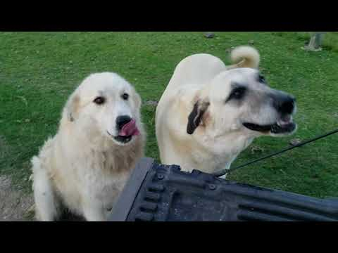 Training LGD Livestock Guardian Dog