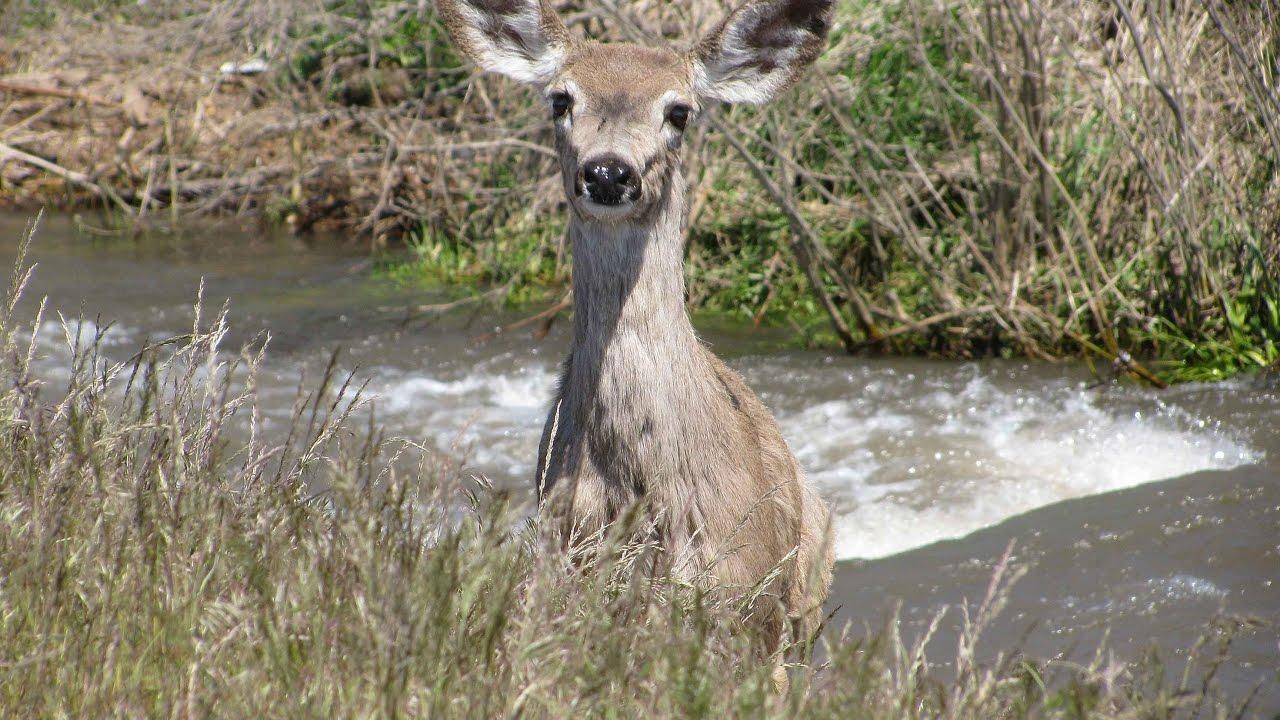 Whitetail Mule Deer Hybrid Video Youtube