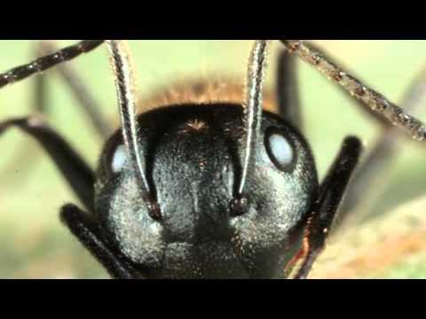 Zombie Ants ( Semut Zombie )
