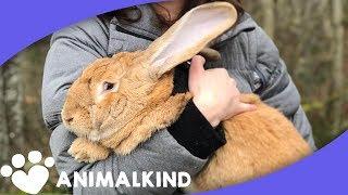 Giant Rabbit And Little Girl Make Adorable Duo | Animalkind