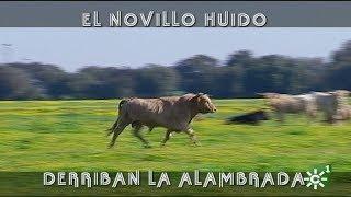 Novillo huido derriba la alambrada en Prieto de la Cal | Toros desde Andalucía