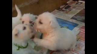 Fillhotes De Westie - Westies Puppies