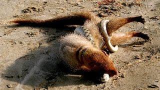 Wild Animals Documentary ► Snake vs Mongoose ► National Geographic documentary ► Animal planet