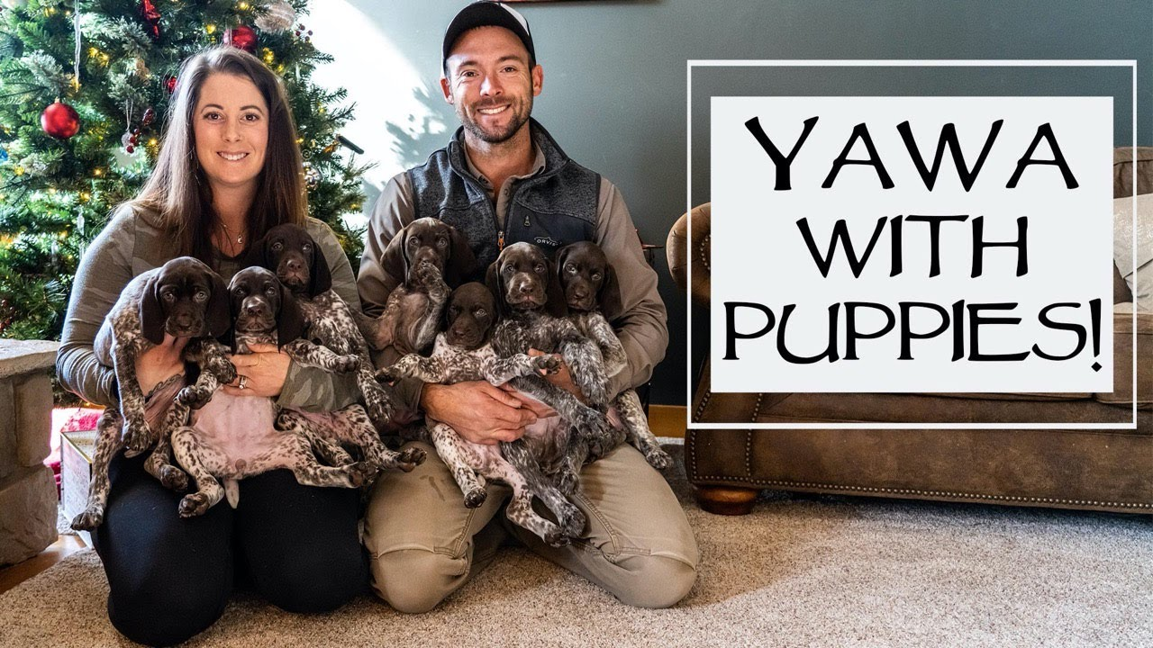 Cute GSP Puppies Playing And Q&A - YAWA Episode 46