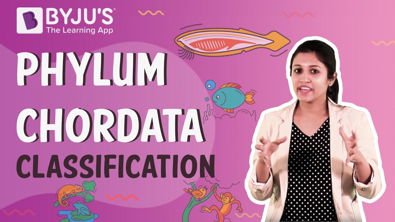 Phylum Chordata Classification Urochordata Cephalochordata And