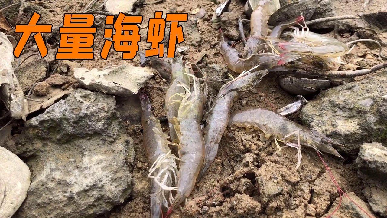 阿兴赶海发现大量海虾,直接拿起抄网,收获满满呀!【兴哥赶海】