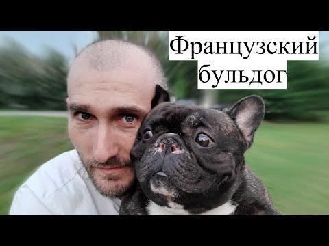 Французский бульдог. Вся правда о породе на основе личного опыта!!!