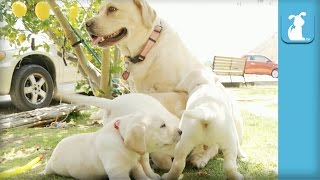 Adorable Yellow Lab Puppies Love Their Mama - Puppy Love