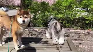 桜吹雪の犬たち(うしろむき)