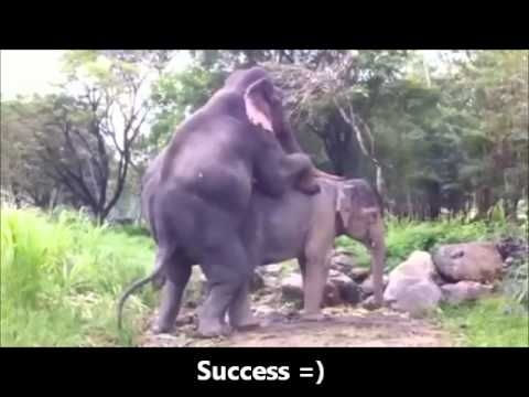 Elephant Mating thailand - YouTube