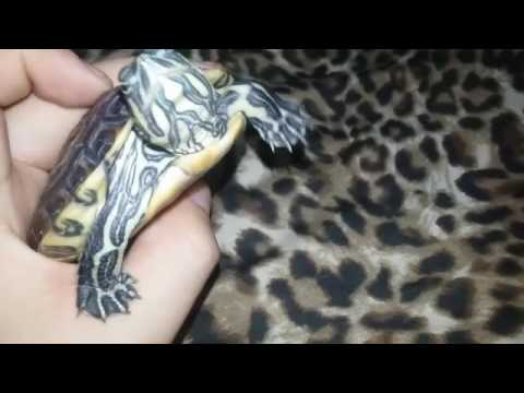 Tortuga Pavorreal (Trachemys Venusta)