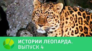 История леопарда  Выпуск 4 @ Живая Планета