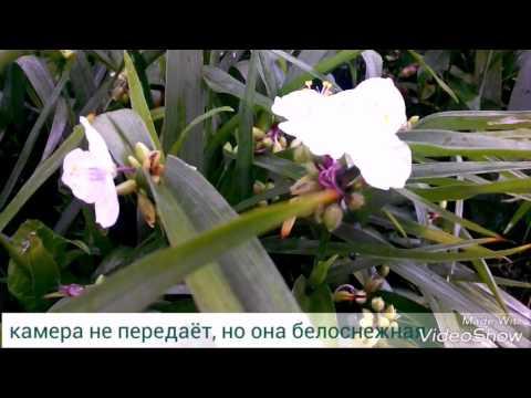 Традесканция садовая. Разноцветная. Июль 2017.