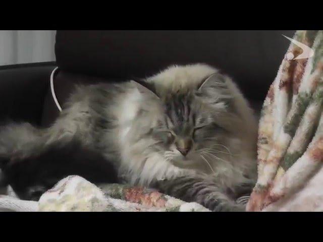 シベリア猫ミール君 第5弾(平成27年12月24日公開)