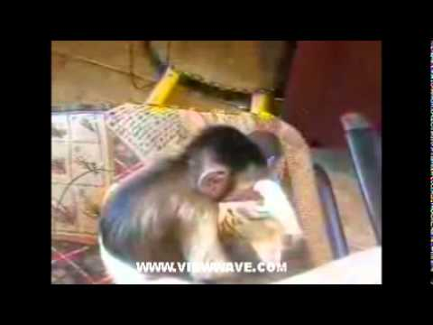 Monkey Loves Cat (DUMB CATS)