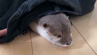 カワウソさくら カワウソを捕獲するための罠を仕掛けてみた!  Set up a trap to capture otters