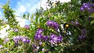 Duranta erecta blue - purple flowers Geisha Girl goldy green - HD 07