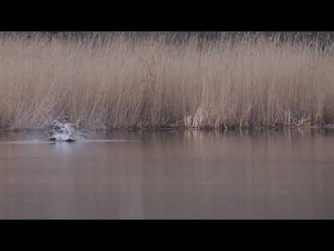 Osprey Hunting Pike, Slow Motion.