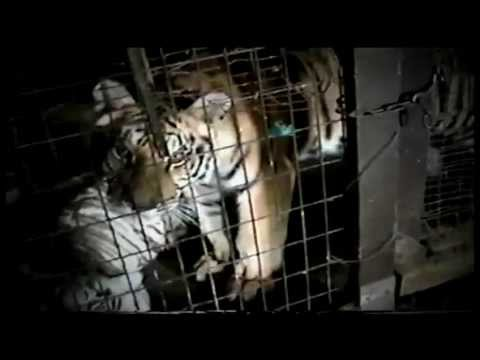 Why a tiger is worth more dead than alive- Dangerous Trade Re-Airs Sunday, May 27 on CNBC