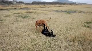 甲斐犬 vs RhodesianRidgeback http://pet-smile.net/p/370552322/000/0...
