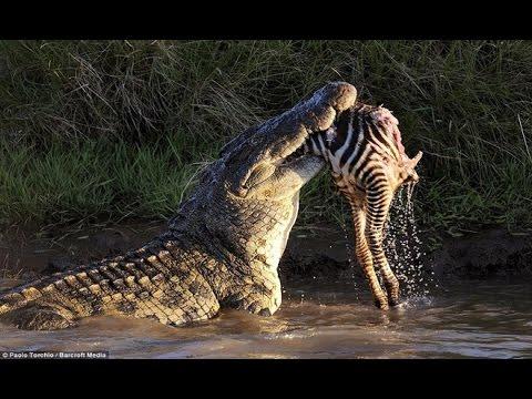 Thế Giới Động Vật Hoang Dã : Ngựa Vằn Vật Lộn Thoát Khỏi Hàm Cá Sấu