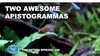 Two Awesome Apistogramma Species Macmasteri and Hongsloi Fincasters Episode 150