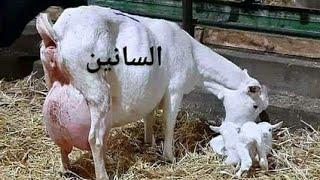 احسن سلالات الماعز الحلوب في الجزائر