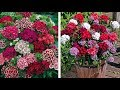 How to Plant Dianthus Barbatus (Sweet William): Winter/Spring Guide