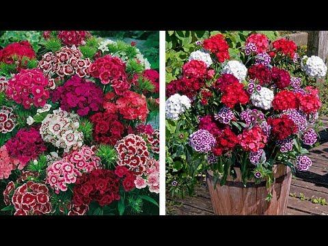 How To Plant Dianthus Barbatus Sweet
