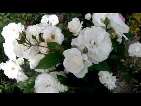 Белые розы - cорт «Роза Кент Таун энд Кантри» (Rosa Kent Towne & Country) white roses