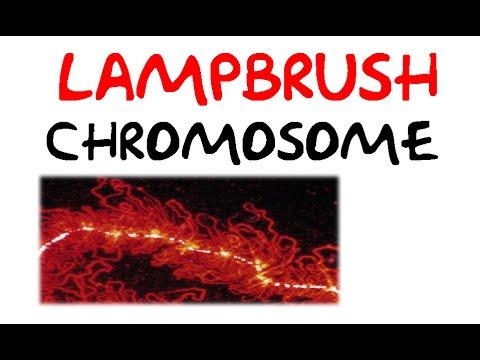 Lampbrush chromosomes