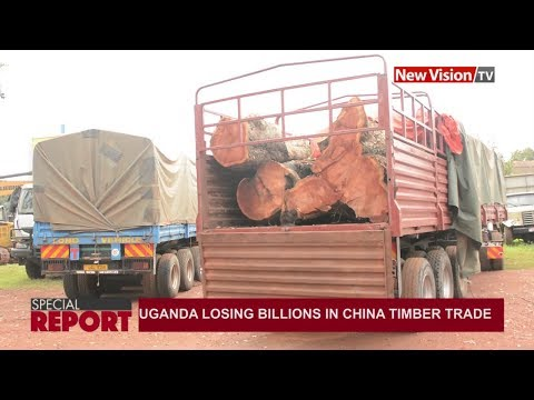 Special Report: Uganda losing billions in China timber trade
