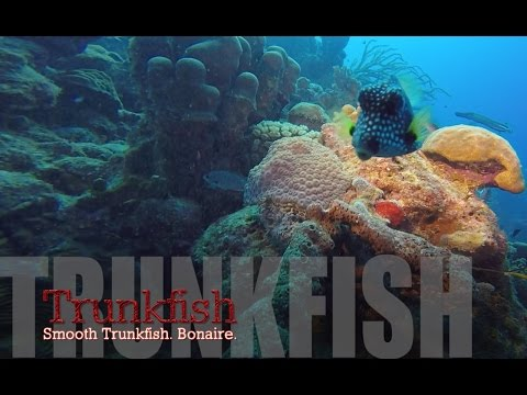 Smooth Trunkfish In Bonaire